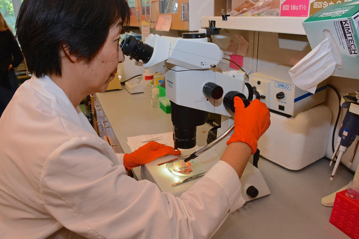 Mei Lang Flowers, research technician II, harvests mouse embryos for a microinjection session.