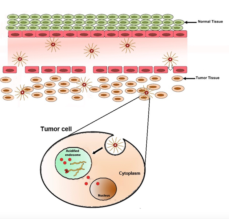 Schematic illustration showing the mechanism of tumor accumulation, cellular uptake and intracellular drug release of CP-DOX nanoparticles.